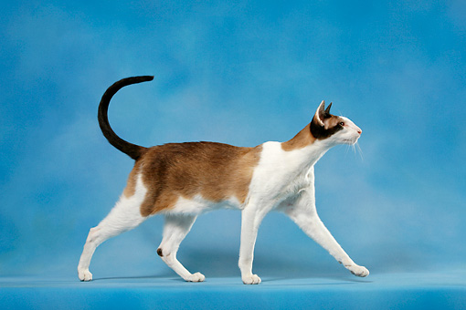 CAT 02 KH0044 01 © Kimball Stock Seal Point And White Oriental Shorthair Walking Profile Studio