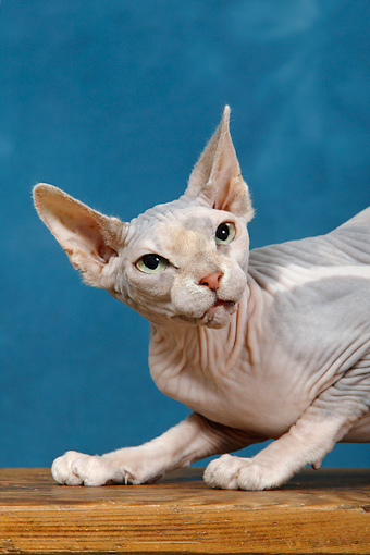 CAT 02 KH0046 01 © Kimball Stock Sphynx Cat Shoulder Shot Studio
