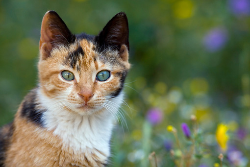CAT 02 KH0051 01 © Kimball Stock Head Shot Of Shorthair Calico Sitting In Field Of Flowers