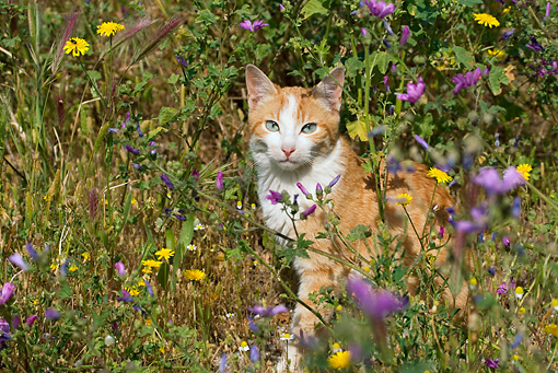 CAT 02 KH0053 01 © Kimball Stock Orange Tabby Cat Sitting In Field Of Purple And Yellow Flowers