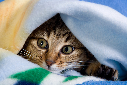 CAT 02 KH0054 01 © Kimball Stock Brown Tabby Peeking Out From Under Blue Blanket