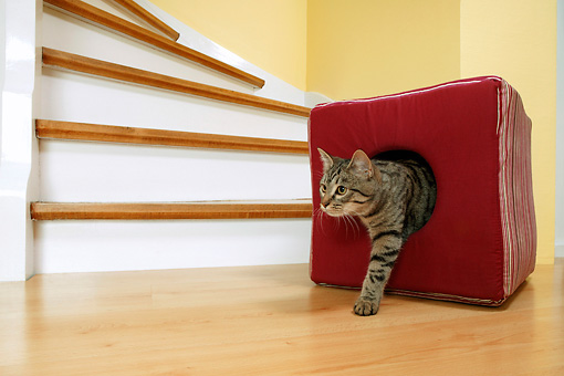 CAT 02 KH0058 01 © Kimball Stock Tabby Cat Climbing Out Of Red Cushion By Stairs