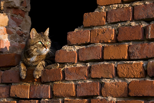 CAT 02 KH0059 01 © Kimball Stock Tabby Cat Laying In Hole In Brick Wall