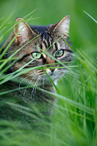 CAT 02 KH0063 01 © Kimball Stock Tabby Cat Sitting Peeking Through Tall Grass