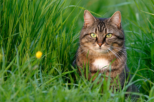 CAT 02 KH0065 01 © Kimball Stock Tabby Cat Sitting In Tall Grass