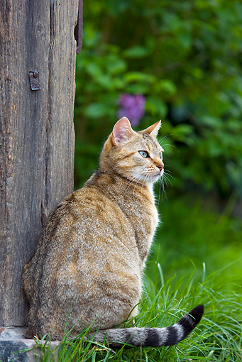 CAT 02 KH0302 01 © Kimball Stock Tabby Cat Sitting At Foot Of A Wooden Pillar In Garden