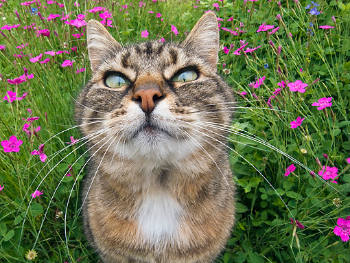 CAT 02 KH0309 01 © Kimball Stock Close-Up Of Tabby Cat Sitting In Grass With Pink Flowers