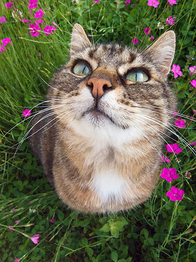 CAT 02 KH0310 01 © Kimball Stock Close-Up Of Tabby Cat Sitting In Grass With Pink Flowers