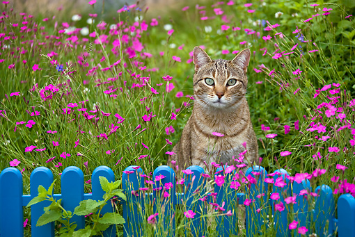 CAT 02 KH0315 01 © Kimball Stock Tabby Cat Sitting In Grass With Pink Flowers By Blue Fence