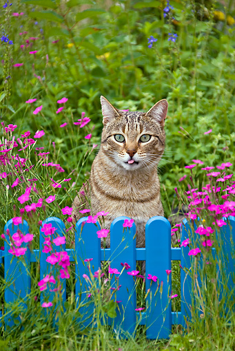 CAT 02 KH0316 01 © Kimball Stock Tabby Cat Sitting In Grass With Pink Flowers By Blue Fence