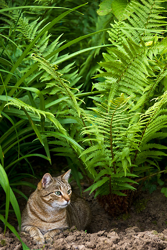CAT 02 KH0318 01 © Kimball Stock Tabby Cat Laying In Garden By Ferns
