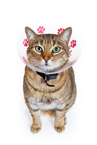 CAT 02 KH0322 01 © Kimball Stock Tabby Cat Wearing Elizabethan Collar Sitting On White Seamless