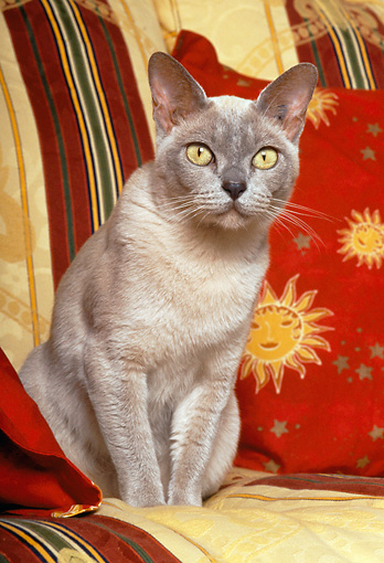 CAT 02 KH0323 01 © Kimball Stock Burmese Cat Sitting On Sofa Cushion
