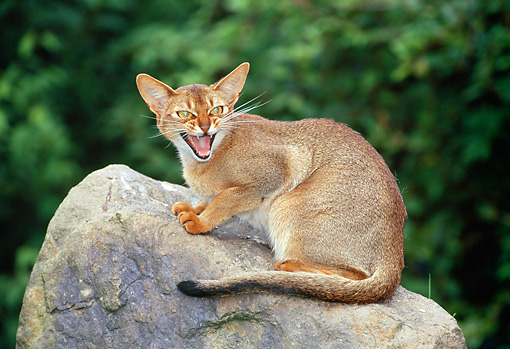 CAT 02 KH0326 01 © Kimball Stock Abyssinian Cat Sitting On Rock Meowing
