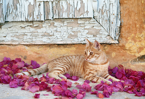 CAT 02 KH0332 01 © Kimball Stock Orange Tabby Greek Island Cat Laying In Pink Rose Petals By Wooden Door