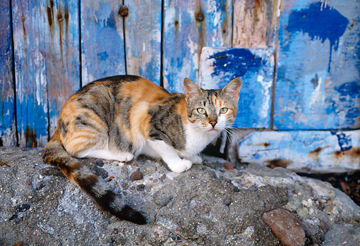 CAT 02 KH0351 01 © Kimball Stock Calico Tabby Greek Island Cat Laying On Rock By Blue Wall