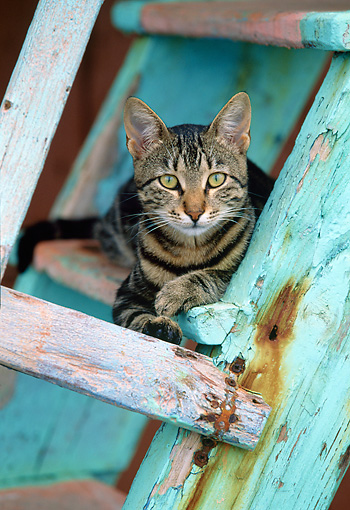 CAT 02 KH0352 01 © Kimball Stock Grey Tabby Greek Island Cat Resting On Wooden Ladder