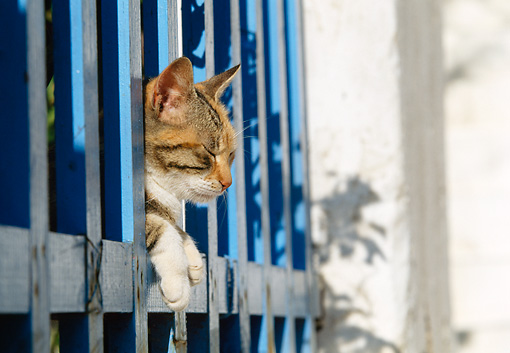 CAT 02 KH0355 01 © Kimball Stock Calico Tabby Greek Island Cat Peeking Head Through Blue Fence