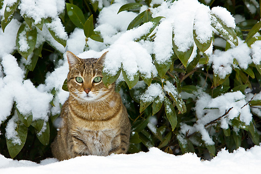 CAT 02 KH0358 01 © Kimball Stock Obese Tabby Cat Sitting Under Shrub In Snow