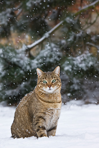 CAT 02 KH0360 01 © Kimball Stock Obese Tabby Cat Walking Through Snow