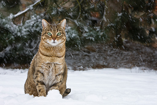 CAT 02 KH0362 01 © Kimball Stock Tabby Cat Sitting In Snow