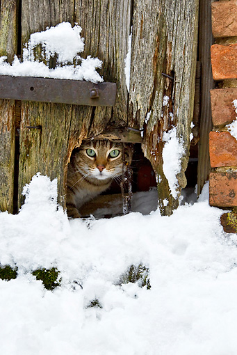 CAT 02 KH0364 01 © Kimball Stock Tabby Cat Peeking Under Barn Door In Snow