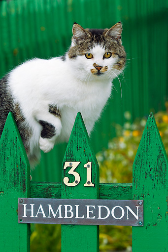 CAT 02 KH0420 01 © Kimball Stock Portrait Of White And Tabby Cat Walking Along Green Picket Fence