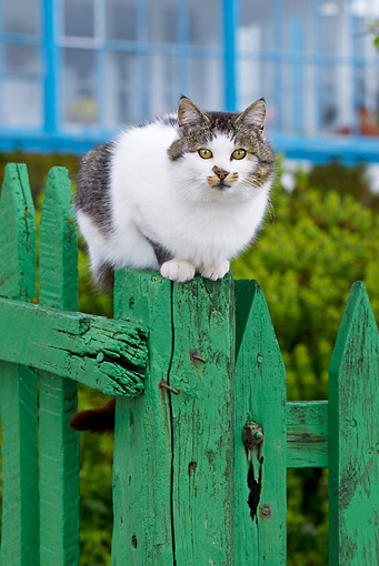 CAT 02 KH0421 01 © Kimball Stock Portrait Of White And Tabby Cat Walking Along Green Picket Fence