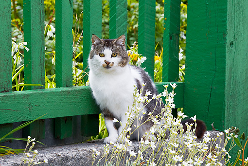 CAT 02 KH0422 01 © Kimball Stock White And Tabby Cat Sitting By Green Fence And Flowers