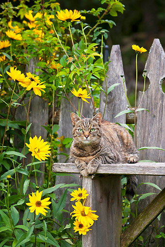 CAT 02 KH0430 01 © Kimball Stock Torbie Cat Laying On Wooden Fence In Late Summer Garden