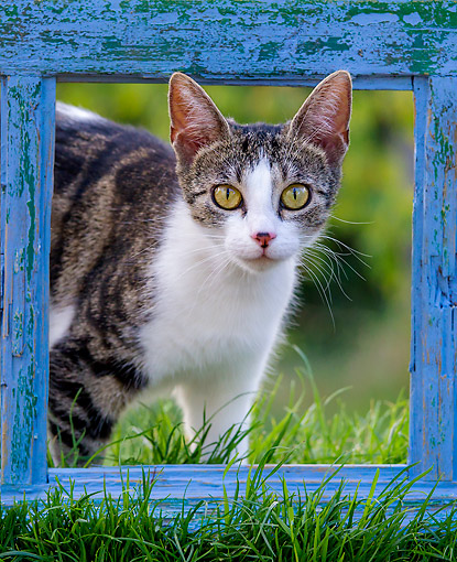 CAT 02 KH0433 01 © Kimball Stock Tabby Cat Female Looking Through Frame Of An Old Blue Window
