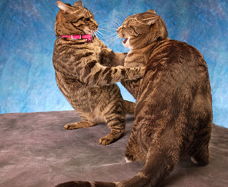 CAT 02 MQ0009 01 © Kimball Stock Two Tabby Cats Fighting Blue Background
