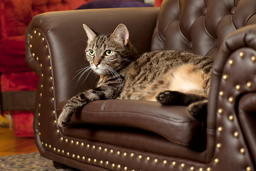 CAT 02 MQ0020 01 © Kimball Stock Tabby Cat Laying On Leather Chair