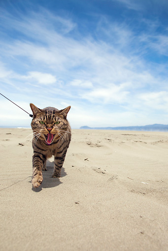 CAT 02 MQ0022 01 © Kimball Stock Tabby Cat Walking On Beach On Leash
