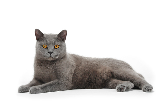CAT 02 PE0003 01 © Kimball Stock Blue British Shorthair Cat Laying On White Seamless