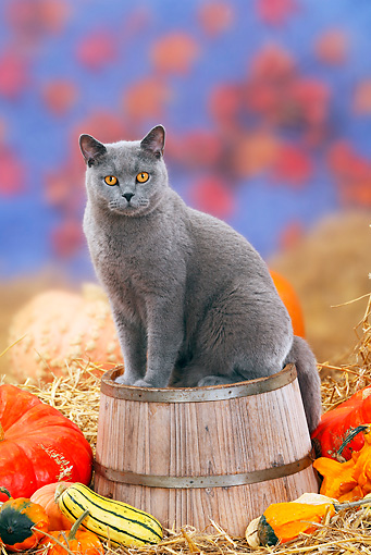 CAT 02 PE0004 01 © Kimball Stock Blue British Shorthair Cat Sitting On Barrel By Straw And Pumpkins