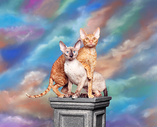 CAT 02 RK0006 02 © Kimball Stock Red McTabby & Tortie Point Cornish Rex Crossing Each Other Facing Camera
