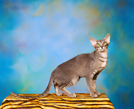 CAT 02 RK0032 02 © Kimball Stock Oriental Shorthair Blue Ticked Tabby Standing On Black And Orange Cloth Blue Green Background