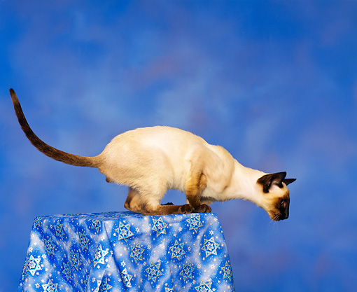 CAT 02 RK0058 01 © Kimball Stock Siamese Seal Point Profile Shot Studio