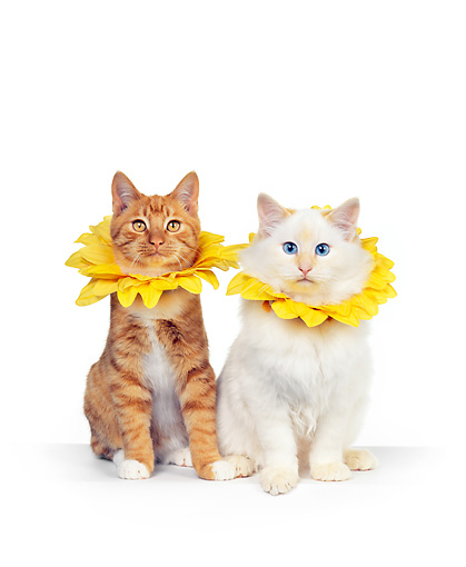 CAT 02 RK0099 11 © Kimball Stock Orange & Cream Cats Sitting With Yellow Flower Collar White Seamless Studio