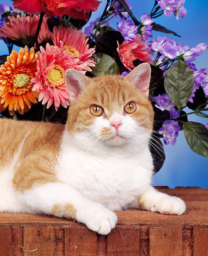 CAT 02 RK0109 06 © Kimball Stock Head Shot Of American Wirehair Red & White Tabby Laying By Flowers Studio