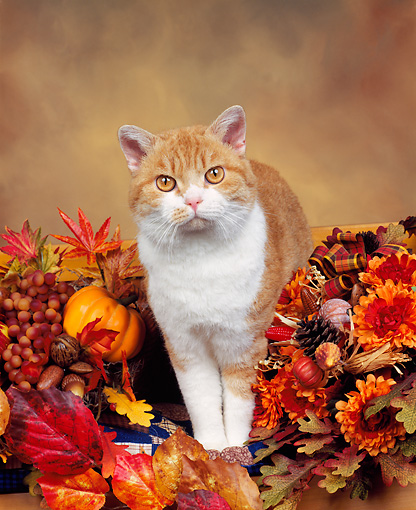 CAT 02 RK0116 01 © Kimball Stock American Wirehair Red And White Mackerel Tabby Standing In Fall Arrangement