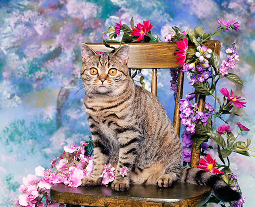 CAT 02 RK0131 02 © Kimball Stock British Shorthair Brown Tabby Sitting On Chair Surrounded By Flowers Facing Camera