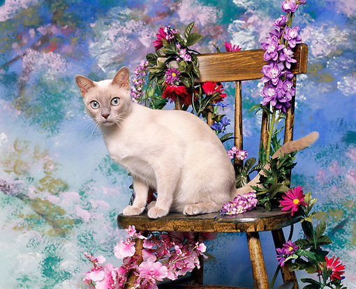 CAT 02 RK0135 05 © Kimball Stock Tonkinese Platinum Mink Sitting On Chair By Flowers Studio