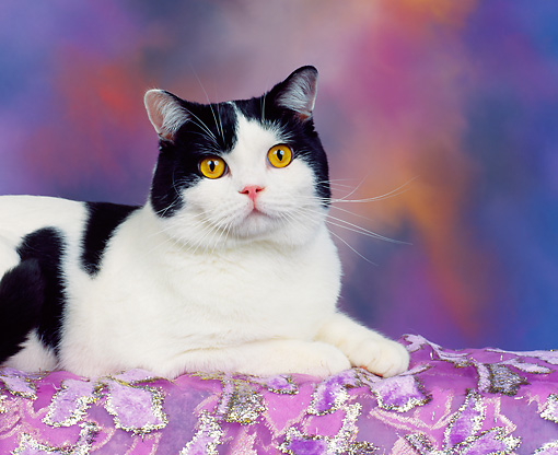 CAT 02 RK0139 02 © Kimball Stock Black And White American Shorthair Cat Laying On Side On Purple Cloth Facing Camera