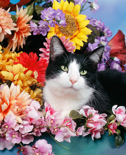 CAT 02 RK0250 06 © Kimball Stock Head Shot Of Black And White Cat Laying By Flowers Studio