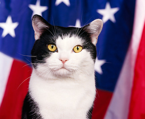 CAT 02 RK0291 01 © Kimball Stock Head Shot Of American Shorthair Black And White Patriotic Studio