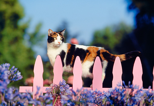CAT 02 RK0299 09 © Kimball Stock Calico Cat Walking Along Pink Fence