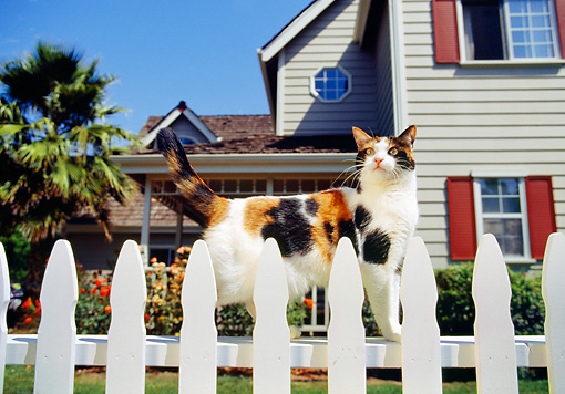 CAT 02 RK0303 05 © Kimball Stock Calico Cat Standing By White Fence