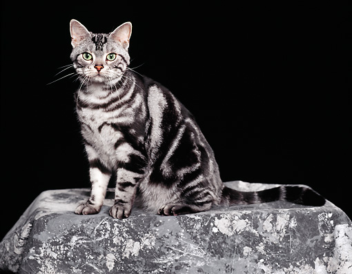 CAT 02 RK0324 02 © Kimball Stock American Shorthair Classic Silver Tabby Sitting Studio